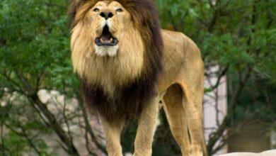 يسمى الأسد ملك الغابة